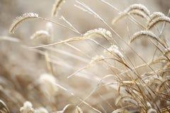 Kuif gras in de winter stock afbeelding