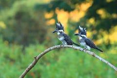 Kuif Ijsvogel stock foto