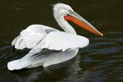 Kuif pelikaan Royalty-vrije Stock Fotografie