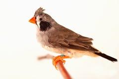 Kuif vogel op tak Stock Afbeeldingen