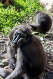 Kuif Zwarte Macaque Royalty-vrije Stock Afbeelding