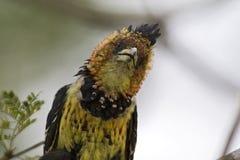 Kuifbaardvogel,有顶饰热带巨嘴鸟, Trachyphonus vaillantii 库存照片