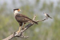 Kuifcaracara met Noordelijke Spotlijster in zuidelijk Texas, de V.S. stock afbeelding