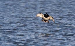 Kuifeend, Tufted утка, fuligula Aythya стоковая фотография rf