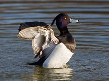 Kuifeend, Tufted Duck, Aythya fuligula stock image