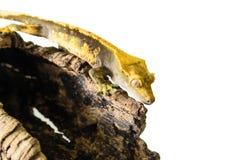 Kuifgekko die die stomp beklimmen op witte achtergrond wordt geïsoleerd Royalty-vrije Stock Afbeelding
