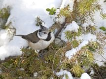 Kuifmees, European Crested Tit, Lophophanus cristatus. Kuifmees zittend in de sneeuw, European Crested Tit perched in the snow stock images