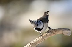 Kuifmees, European Crested Tit, Lophophanus cristatus. Kuifmees zittend op tak, European Crested Tit perched on a branch royalty free stock image