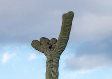 Kuifsaguaro in Nationaal Park West-Tucson stock afbeelding