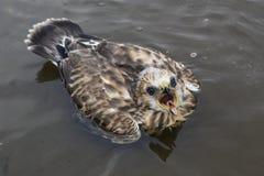 Kuiken-buizerd ruw-Legged Buizerd gevallen in het water Stock Foto's