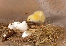 Kuiken dat de eierschaal verlaat stock foto