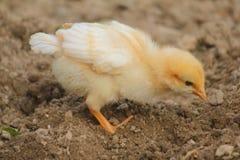 Kuiken dat voedsel in het landbouwbedrijf zoekt stock foto's