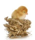 Kuiken in een nest royalty-vrije stock afbeeldingen