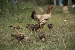 Kuiken en kip op het grasgebied stock foto