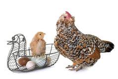 Kuiken, kip en eieren royalty-vrije stock fotografie