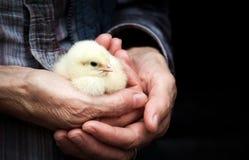 kuiken op een farmer& x27; s hand Royalty-vrije Stock Fotografie