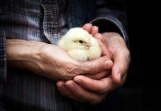 kuiken op een farmer& x27; s hand Stock Afbeelding
