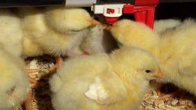 Kuikens drinkwater in kippenren in natuurlijk zonlicht stock videobeelden