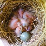 Kuikens in het nest Stock Foto's