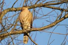 Kuipers Hawk Watching het Gebied stock foto