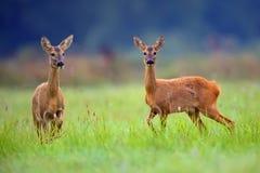 Kuit-Deers in een opheldering stock fotografie