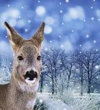 Kuiten - damhinde, rode herten in de winterbos Stock Afbeelding
