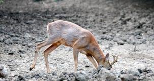 Kuitenbok door de rand van het bos stock video