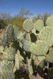Kłującej bonkrety kaktus w pustyni Zdjęcie Stock