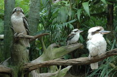 Kukabara Family. A Family of Kookaburras roosting on a tree Stock Image
