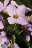 kukułki kwiatu damy s bluza obrazy royalty free