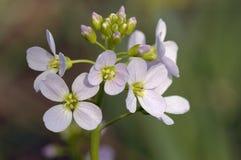 Kukułka kwiat Obrazy Stock