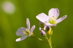 kukułka kwiat Zdjęcia Royalty Free