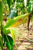 Kukurudza świeża Zdjęcia Royalty Free