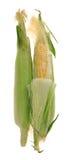 kukurudza świeża Fotografia Royalty Free