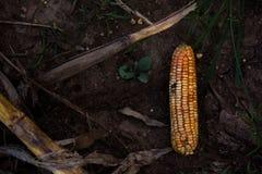 Kukurudza jest fungal chorobą Zdjęcie Royalty Free