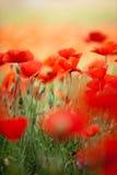 kukurudza kwitnie makową czerwień zdjęcia stock