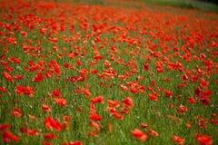 kukurudza kwitnie makową czerwień zdjęcie royalty free