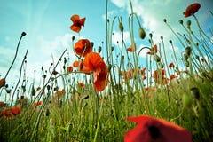 kukurudza kwitnie makową czerwień obraz royalty free