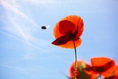 kukurudza kwitnie papaver maczka rhoeas obrazy stock
