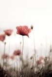 kukurudza kwitnie papaver maczka rhoeas fotografia royalty free