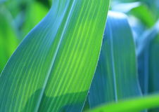 Kukurudza liście - tło Zdjęcia Stock