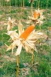 Kukurudza na badylu w polu Obraz Stock