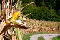 Kukurudza na cob i kukurydzanym polu Fotografia Royalty Free
