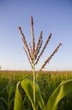 kukurudza podkrada się wierzchołki Zdjęcie Royalty Free