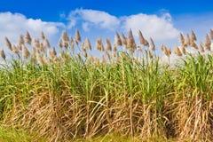 kukurudza segregująca obraz stock