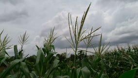Kukurudza uderzająca chluśnięciem wiatr zdjęcie wideo
