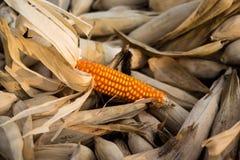 Kukurudza w polach Obrazy Royalty Free