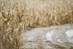 Kukurudza w polu Zdjęcie Royalty Free