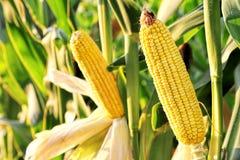 Kukurudza w polu Zdjęcia Royalty Free