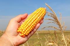 Kukurudza w ręce Zdjęcie Stock